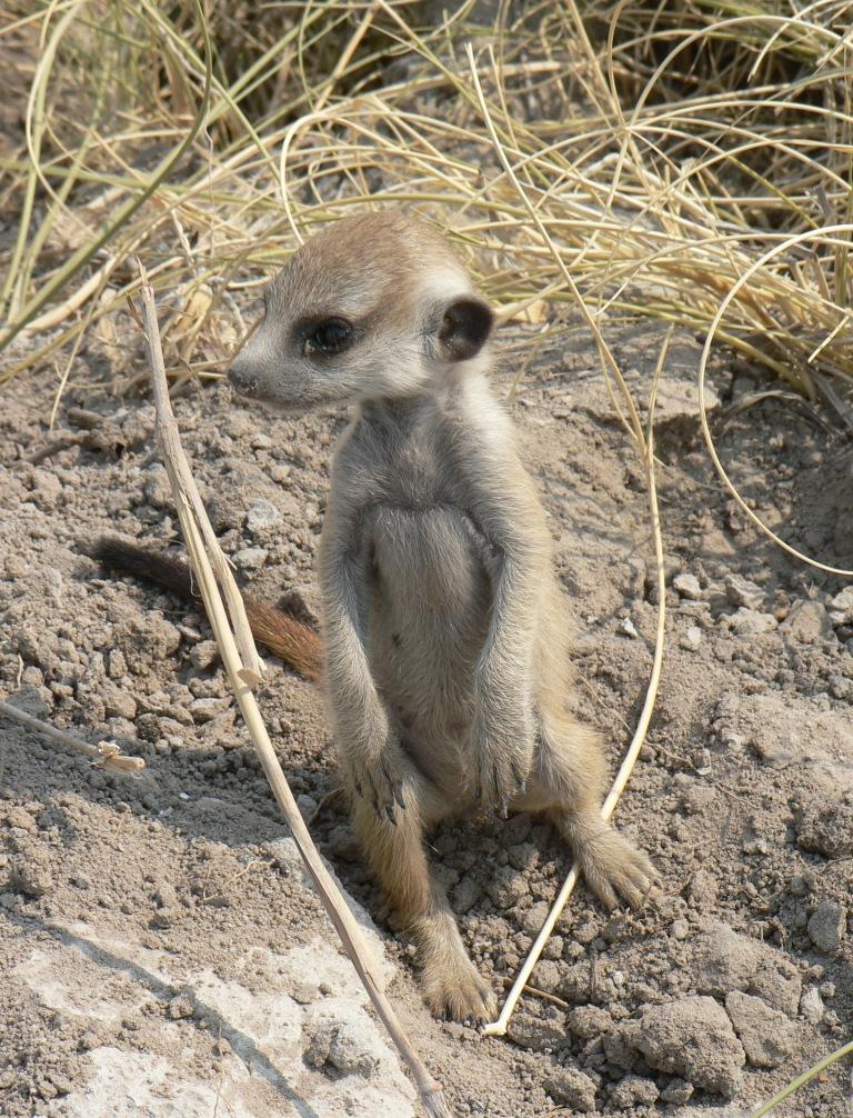 3week meerkat baby
