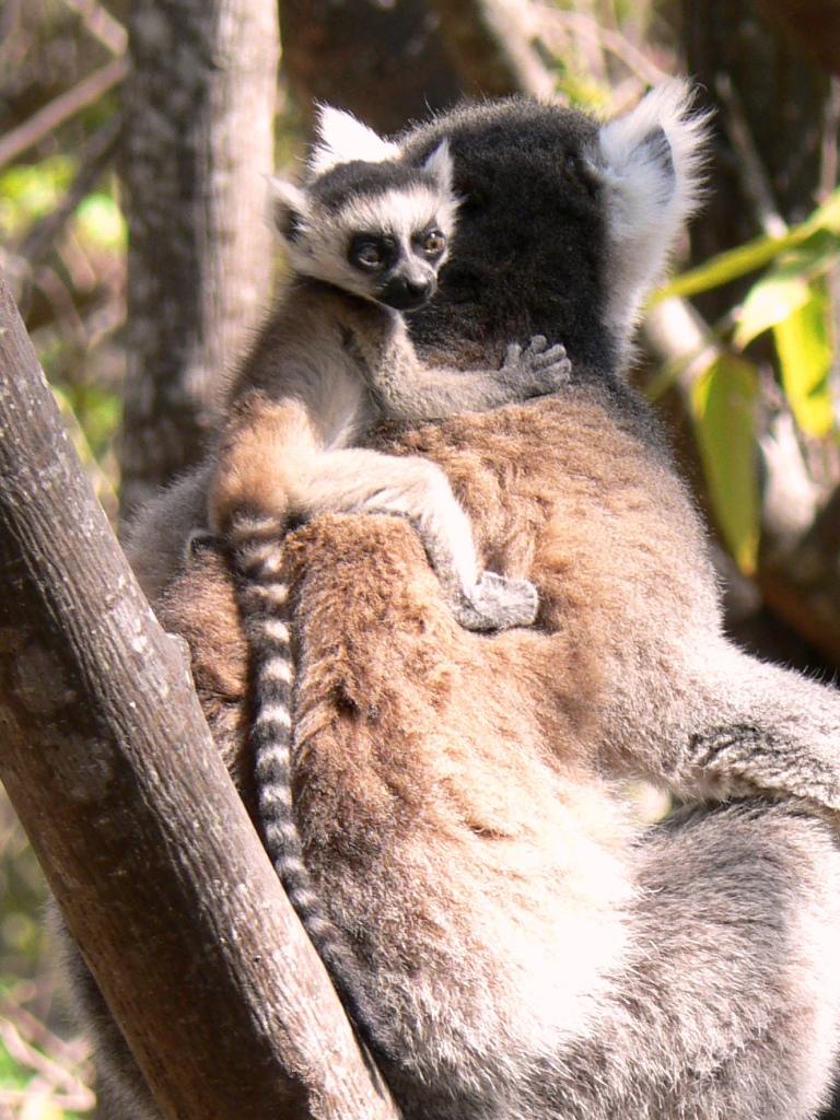 Baby ringtail lemur