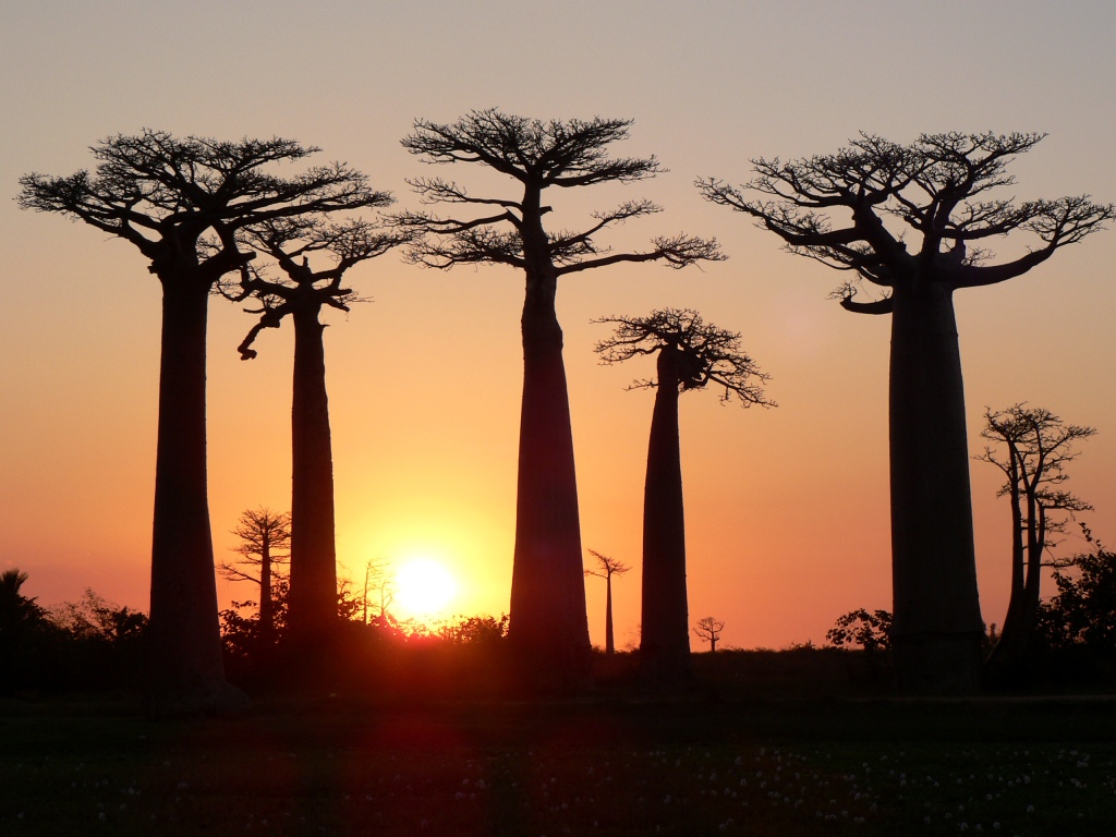 Baobab sunset