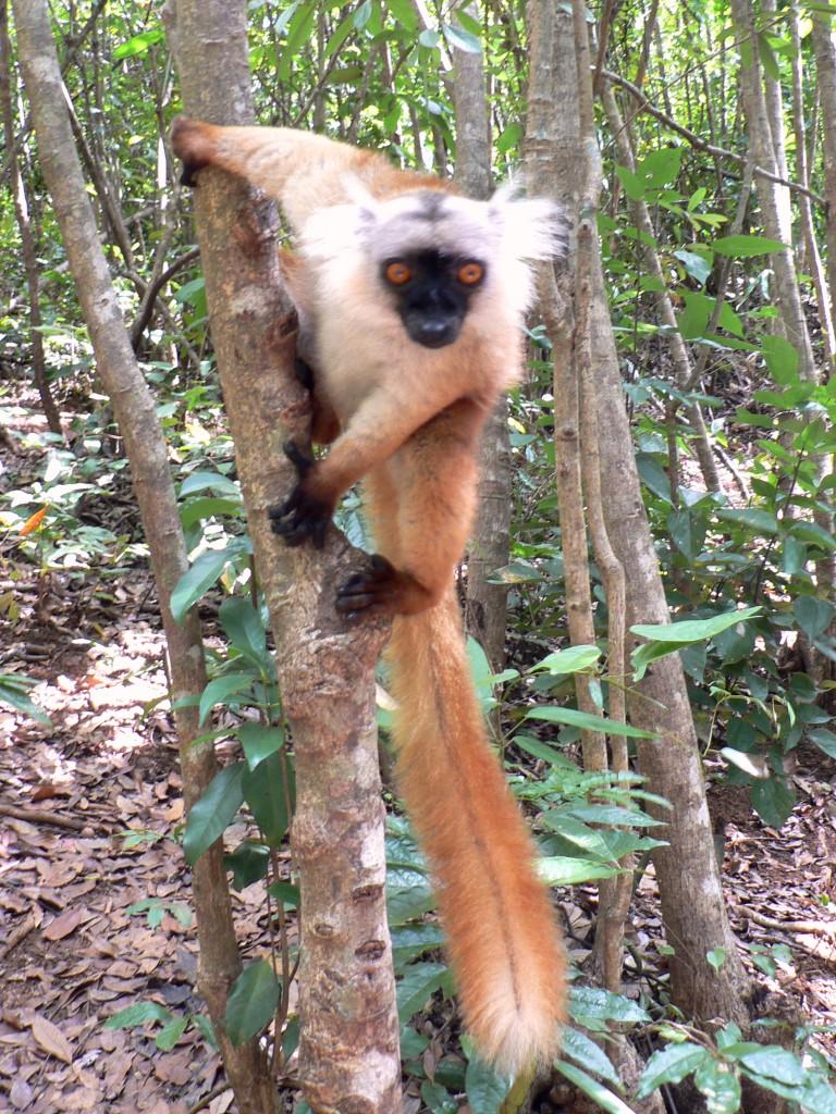 Black lemur female