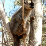 Brown lemur kirindy forest
