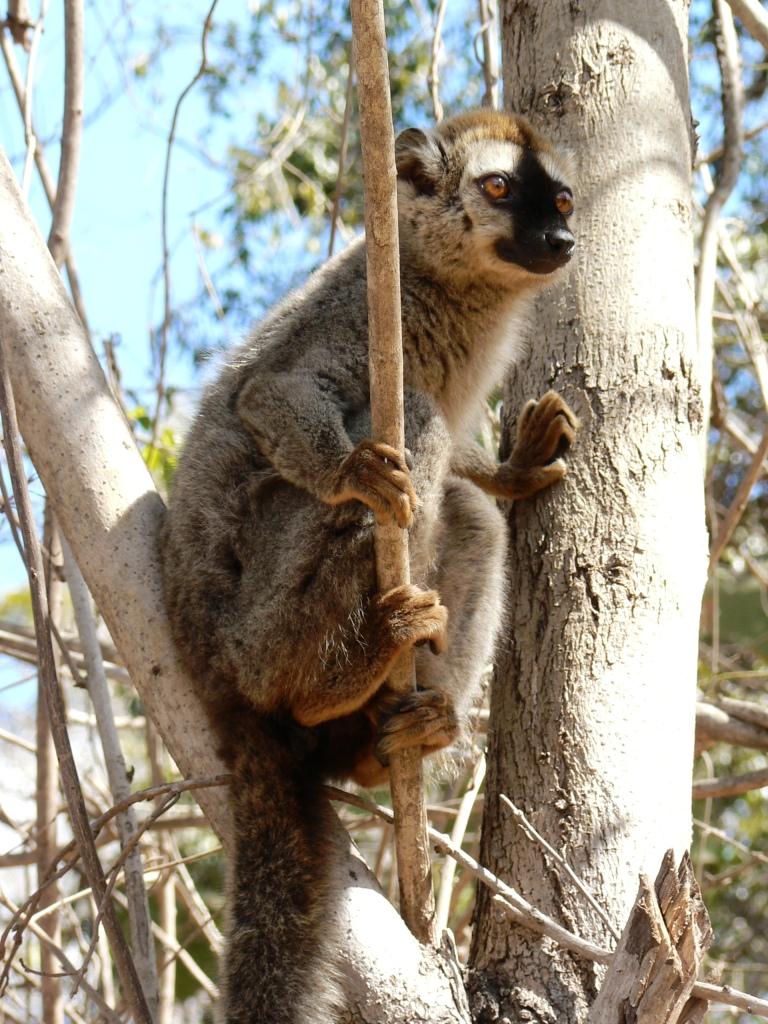 Brown lemur kirindy forest