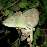 Chameleon Kirindy Forest