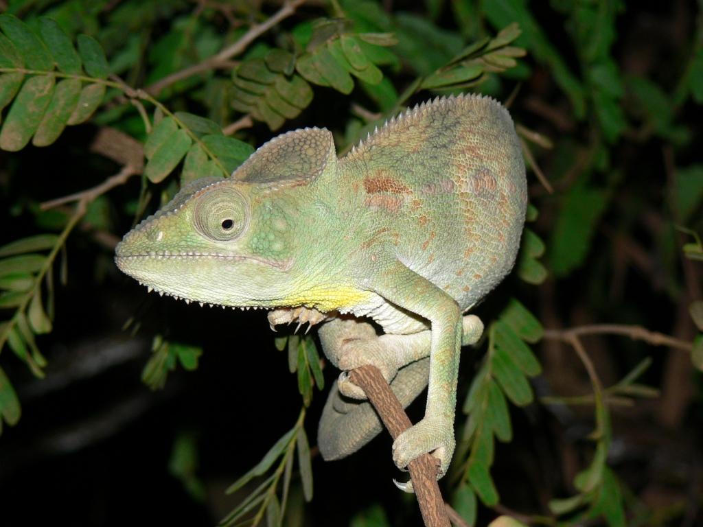 Chameleon Kirindy Forest