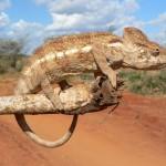 Chameleon at Morondava
