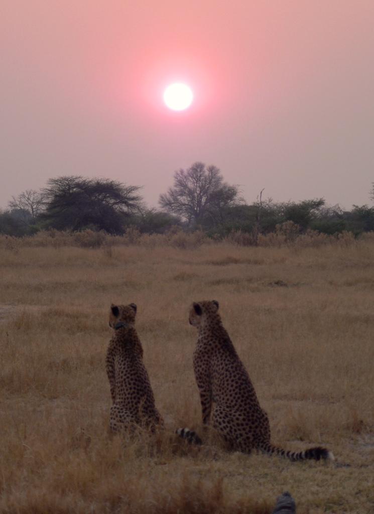 Cheetahs at sunrise