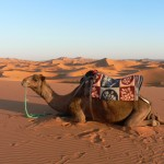 Dromedary downtime