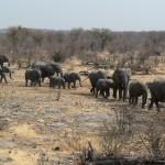 Elephant herd Etosha NP