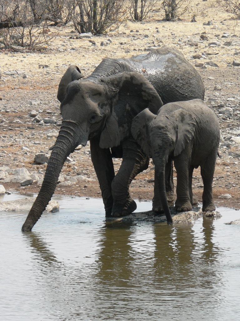 Elephants drinking Etosha NP