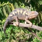 Female Parsons Chameleon