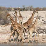 Giraffes Etosha