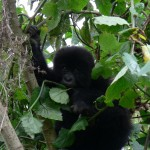 Gorilla cuteness