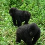 Gorilla pals