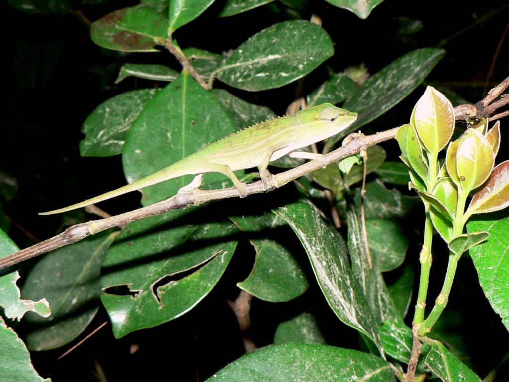 Green chameleon andasibe