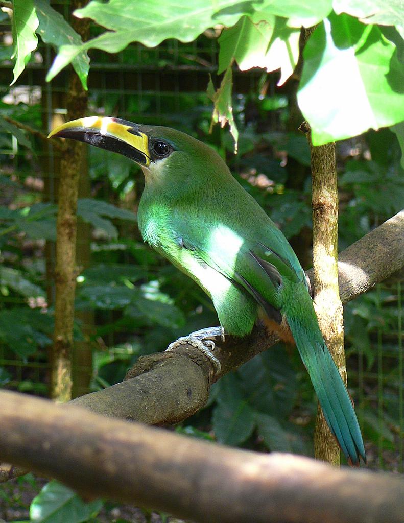 Green toucan