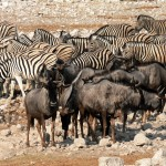 Herds of gnu and zebra
