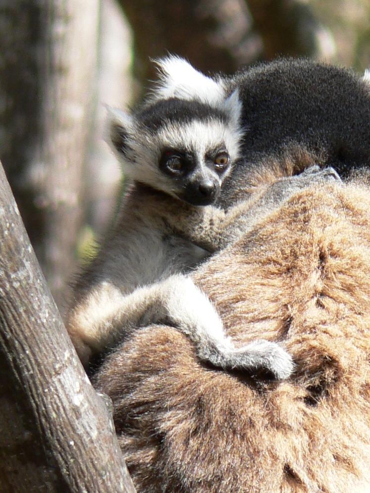 Lemur bad hair day