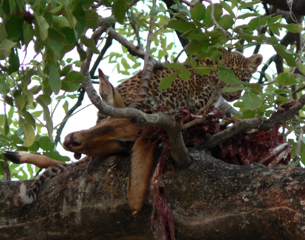 Leopard cub on carcass