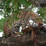 Leopard meal