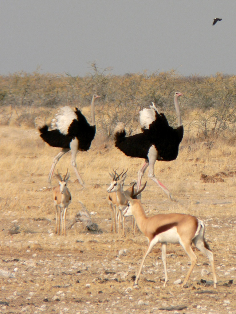 Ostriches and Impalas Etosha