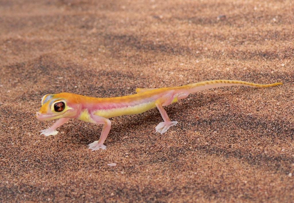 Palmetto desert gecko