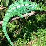 Parson chameleon
