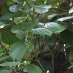 Peppercorn tree Zanzibar