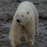 Polar bear march