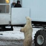 Polar bear welcome
