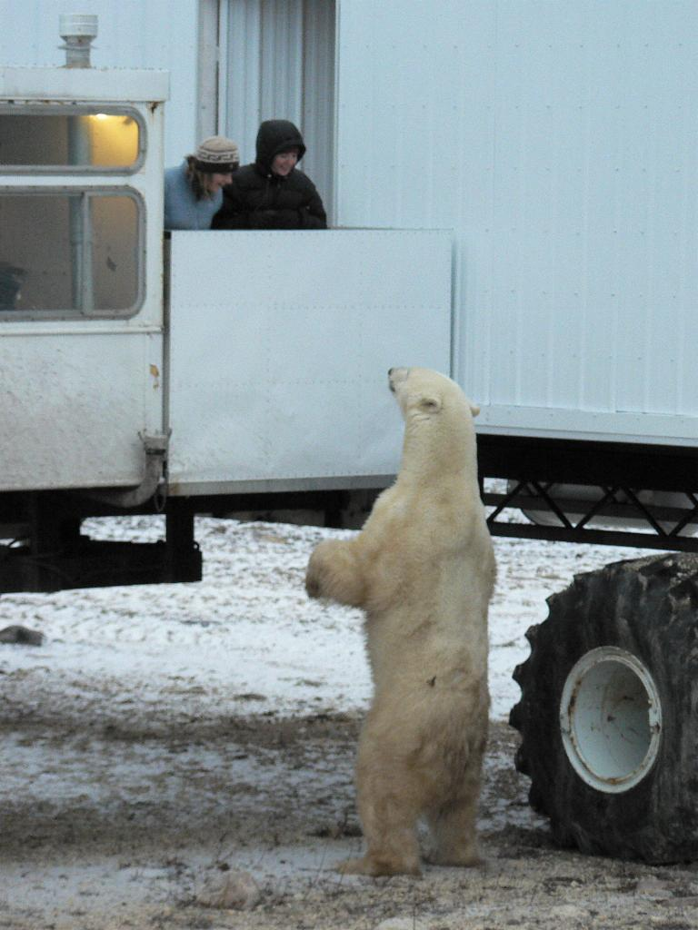 Polar bear welcome