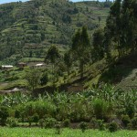Rwanda plantations