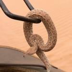 Sand adder Namib Desert