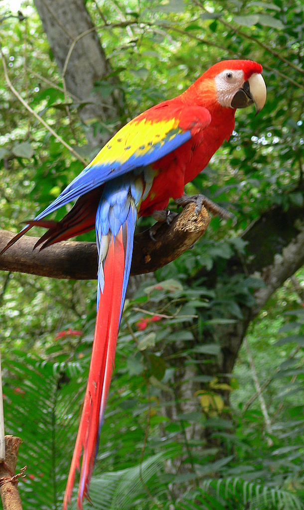 Scarlet Macaw Copan