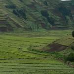 Tea plantations Rwanda