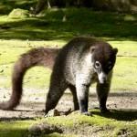 Tikal coati
