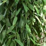Vanilla vines Zanzibar