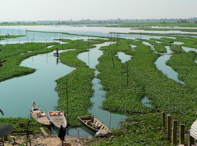 Watercress farming Cambodia
