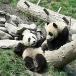 baby panda antics