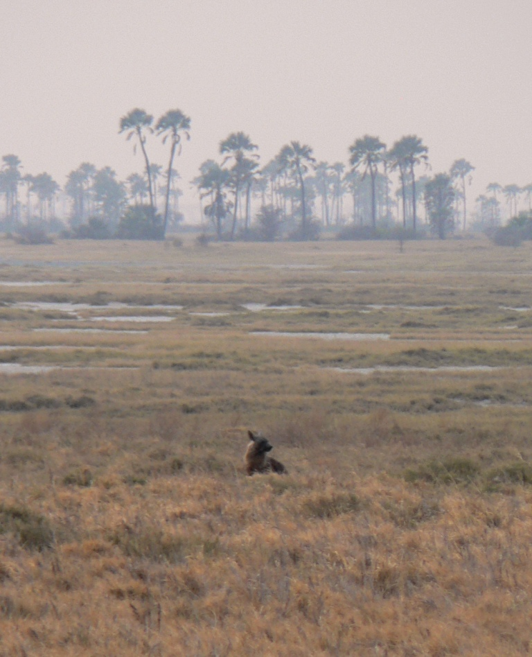 brown hyena kalahari