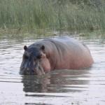 hippo delta
