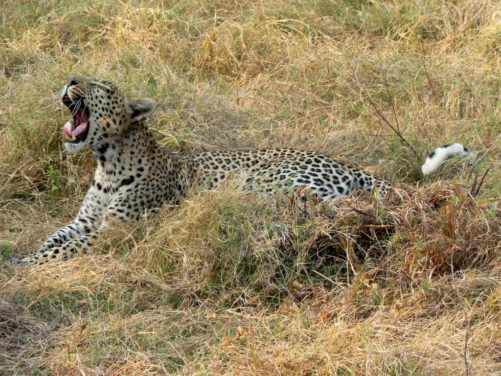 leopard yawn