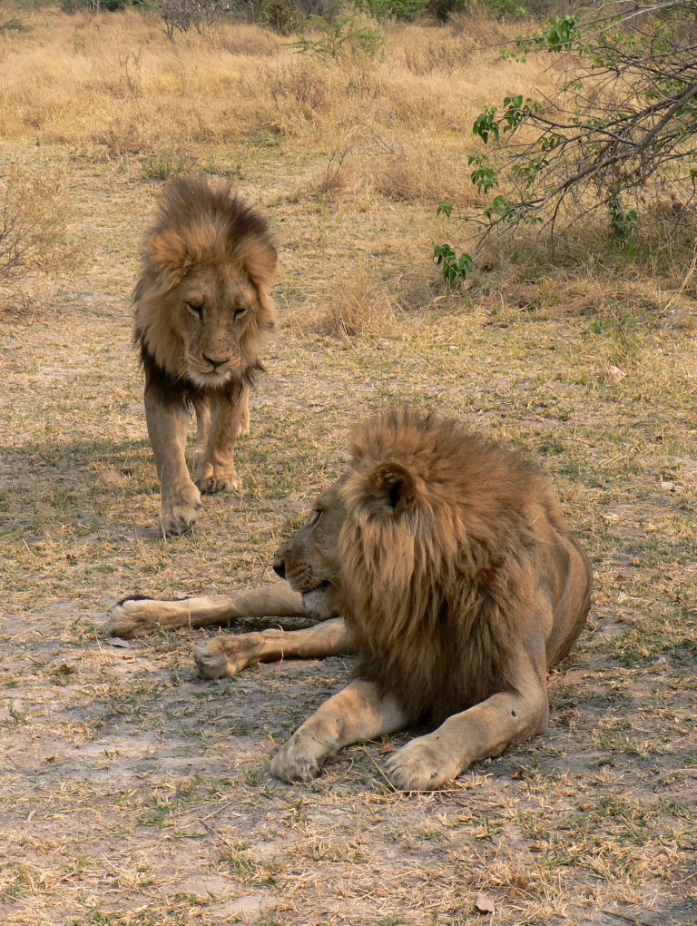 lion mania