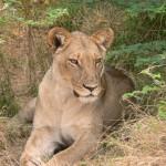 lioness Khwai River