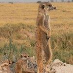 meerkats big n small