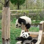 panda nursery 1
