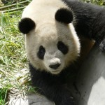 panda stare