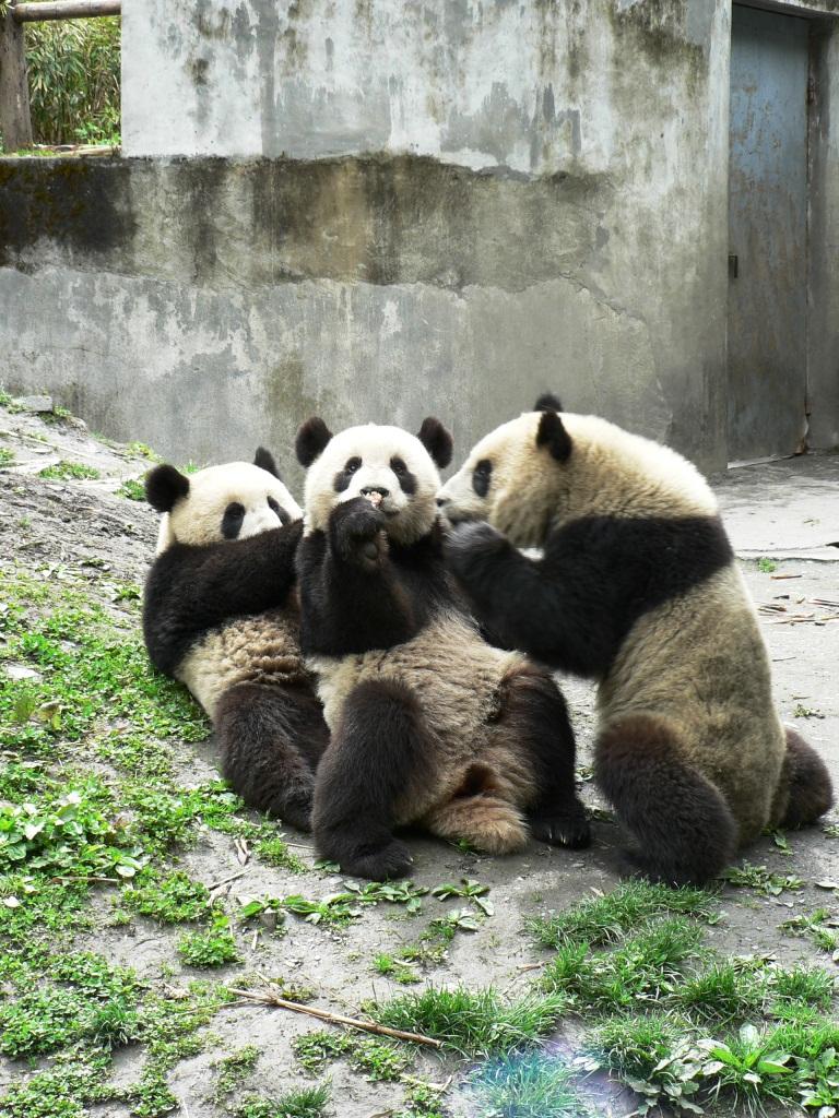 panda threesome