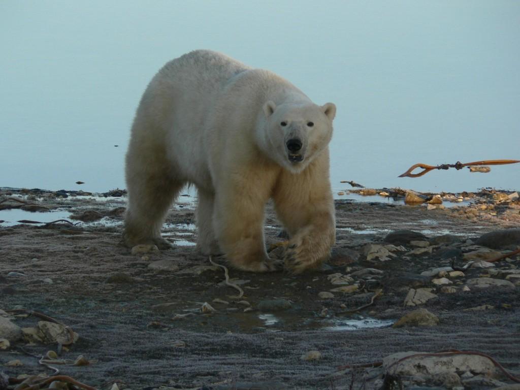 polar stroll