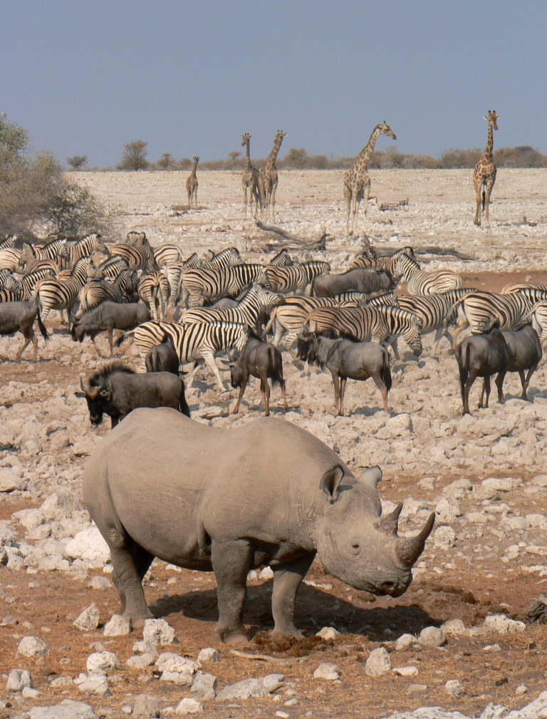 rhino and herds