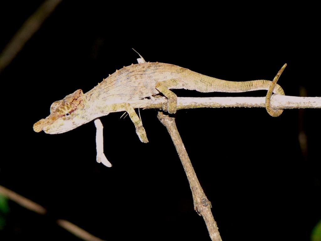 snub nosed chameleon
